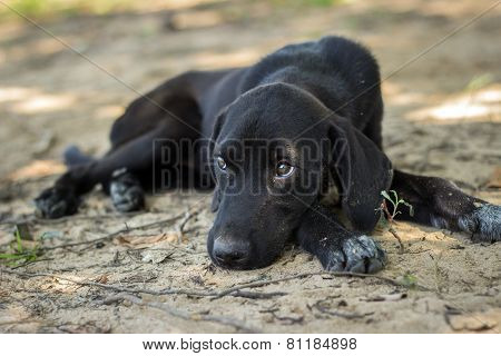 black Labrador Puppy Dog Eyes