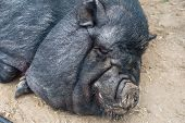 stock photo of pig  - pig sleeping black pig closeup portrati - JPG