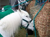 image of shire horse  - Closeup Of White shire horse eating hay