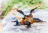 stock photo of lizards  - Eastern water dragon lizard on Manly beach in Sydney - JPG