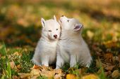 picture of husky  - Two husky puppy on the leaves in autumn - JPG