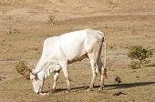 stock photo of oxen  - ox is eating a plant in the dry arid field - JPG