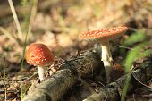 picture of agar  - fly agaric in autumn forest in Russia - JPG