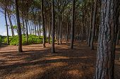 foto of redwood forest  - Forest of pine trees along tuscany coast - JPG