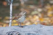 picture of hermit  - Hermit Thrush on a log during migration - JPG