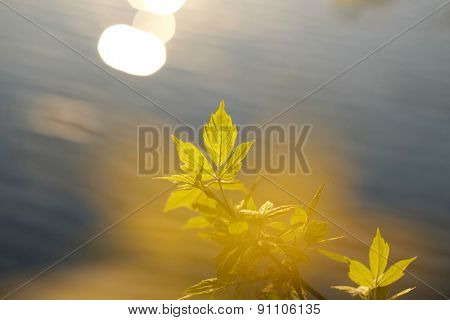 Green leaves with water at background in sunny day. Shallow depth of field.