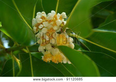 Alexandrian laurel flower