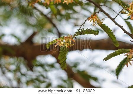 Flowers Of Tamarind