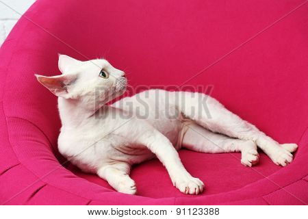 Beautiful white cat on soft pink armchair in room