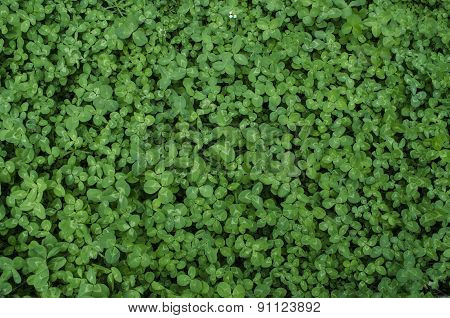 Motley green background of leaves of clover
