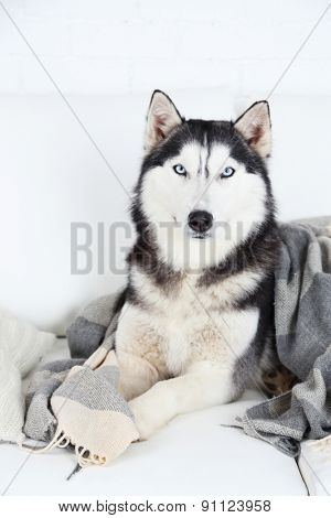 Beautiful cute husky lying on sofa with plaid in white room