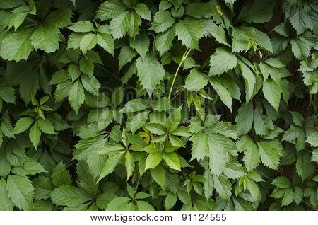 Wall covered with bright leaves of wild grapes