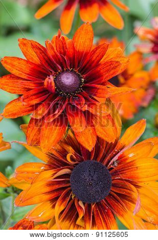 A pretty variety of garden rudbeckia called Autumn Colours. Botanical name is Rudbeckia hirta Autumn Colours.