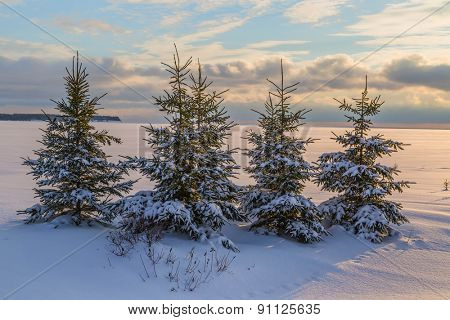 Winter spruce trees at dusk.
