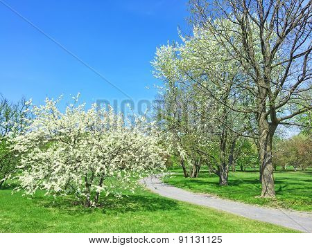 White Blooming Trees In Spring Park