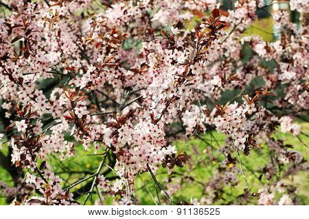 Blooming tree twigs with pink flowers in spring