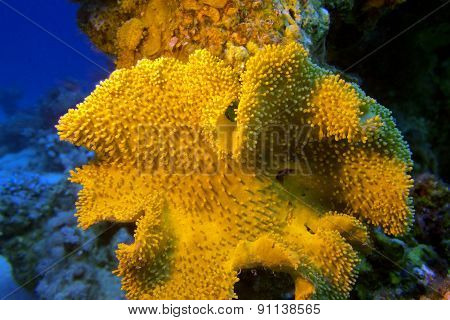 Mushroom Leather Coral In Tropical Sea, Underwater