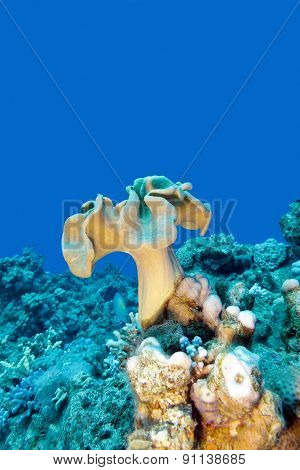 Coral Reef With Mushroom Leather Coral In Tropical Sea , Underwater
