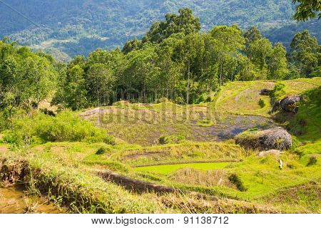 Stunning Rice Paddies Landscape In Indonesia