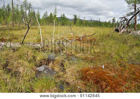 Waterlogged Edge Of The Larch Taiga In Yakutia.