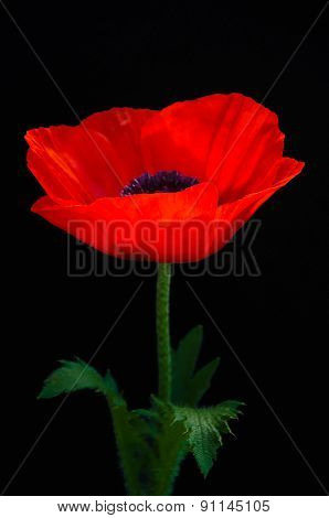 Blurry Red Poppy On A Dark Background