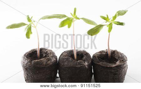 Three Tomato Seedlings