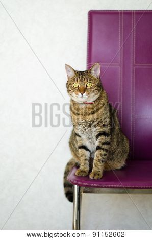 tabby cat sitting on a chair purple light background