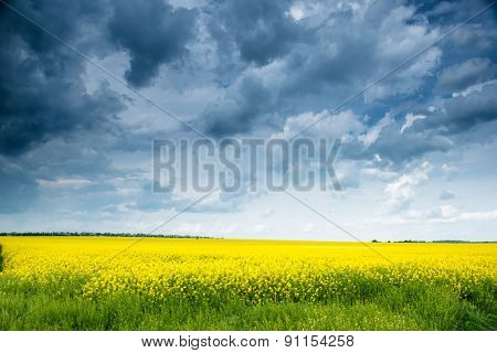 Summer field landscape, yellow rapeseed flowers