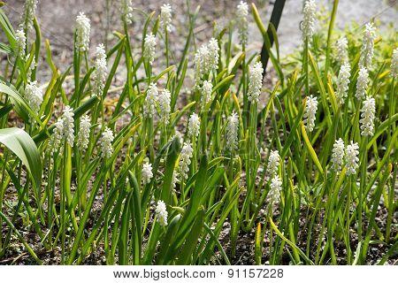 White Grape Hyacinth flowers