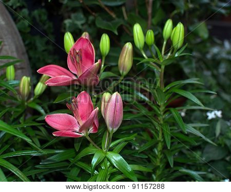 Red Lily Flowers Closeup
