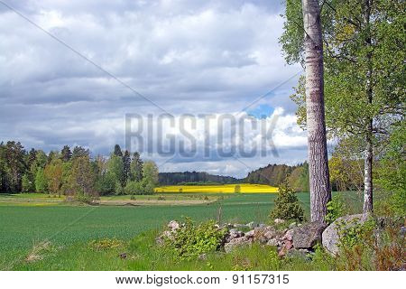 Landscape With Yellow Rapeseed Flowers