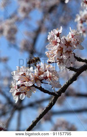Plum tree blossoms and honey bee