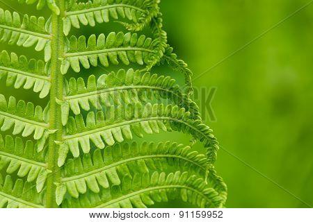 Spring Ferns On Green Background