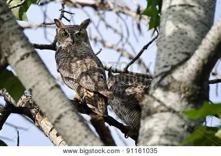 Great Horned Owl Making Direct Eye Contact With You