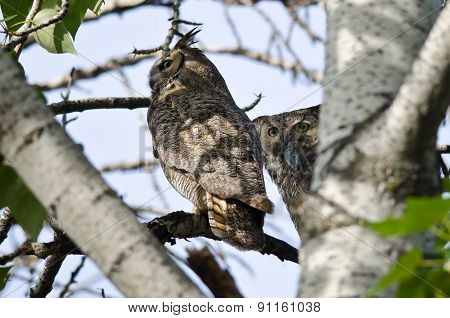 Great Horned Owl Making Eye Contact While Holding Captured Rodent