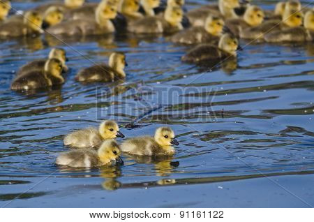 Group Of Adorable Little Goslings Swimming In The Pond
