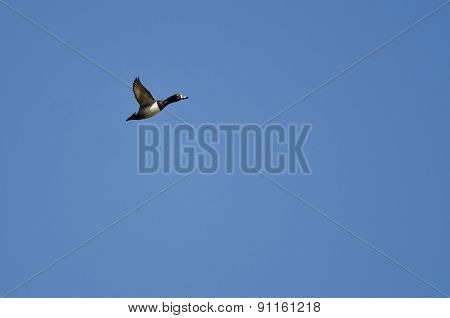 Male Ring-necked Duck Flying In A Blue Sky