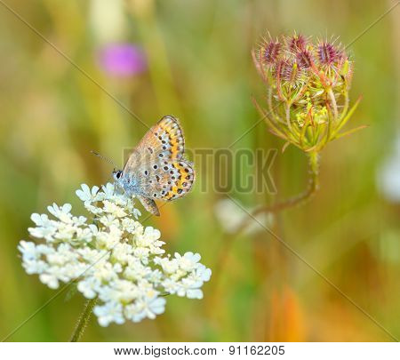 Common blue (Polyommatus icarus) in sunset