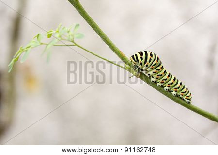 Papilio Machaon Butterfly Caterpillar Eating Ruta Chalepensis Plant.its The First Transformation Sta