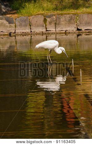 Great White Egret (Ardea Alba) fishing
