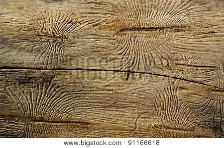 Bark beetles ways on wood