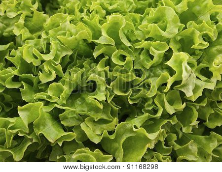 Fresh Green Lettuce Salat On Wooden Background. Healthy Food Concept. Photo Texture. Top View