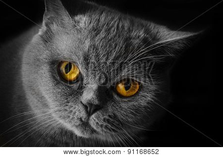Wicked yellow-eyed cat