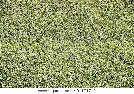 European OGM Growing Green Corn Field
