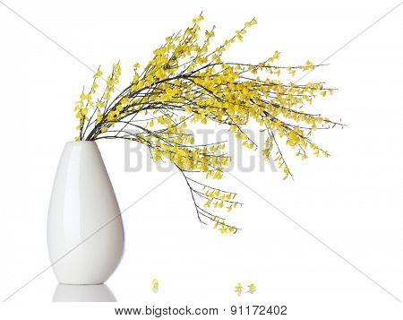 Blooming French Broom branch in a vase isolated on white background
