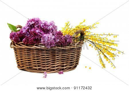 Blossoms of Lilac and Genista collected in old wicker basket isolated on white background