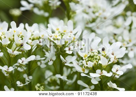 Iberis Sempervirens flowers with bugs closeup