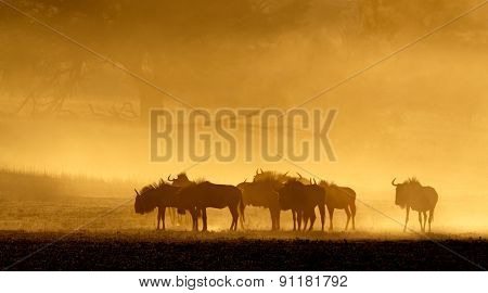 Blue wildebeest (Connochaetes taurinus) in dust at sunrise, Kalahari desert, South Africa