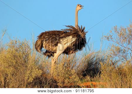 Female Ostrich (Struthio camelus), Kalahari desert, South Africa