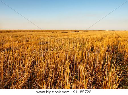 The rice filed after harvested